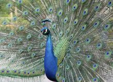proud peacock  Royalty Free Stock Photography
