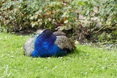 Proud peacock in a chateau garden Royalty Free Stock Photo