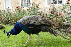 Proud peacock in a chateau garden Royalty Free Stock Photos