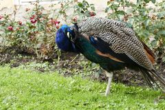 Proud peacock in a chateau garden Royalty Free Stock Photography