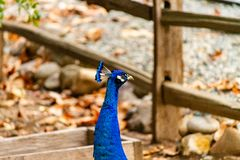 A Proud Peacock Portrait on a farm. The vivid blue of the bird`s feathers really make it stand out against the earthy fall colors of the background stock photos