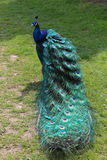 Proud peacock Stock Photo