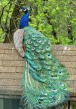 Proud Peacock Sitting On Top Of His Home Royalty Free Stock Images
