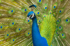Proud Peacock stares intently Royalty Free Stock Photography