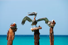 Proud Pelican. Picture taken of a Pelican protecting its perch Stock Images