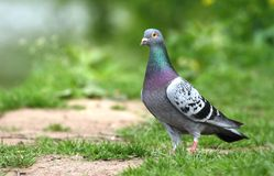 Proud pigeon Stock Photography
