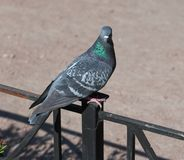 Proud Pigeon. Ordinary pigeon looks proudly, sitting on an iron fence in the park Royalty Free Stock Image