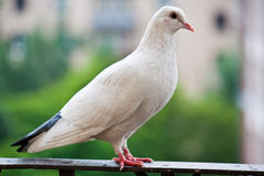Proud pigeon. White pigeon on the balcony Stock Photography