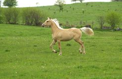 Proud Pony. This young horse is proud of its pretty mane and tail and shows them off royalty free stock image