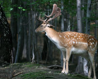 Proud portrait of Fallow Deer Stock Image