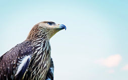 Proud profile of an eagle against the blue sky Stock Image