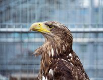 Proud profile of the eagle with a yellow beak in the cage. Never give up and cheer up optism. Royalty Free Stock Photo