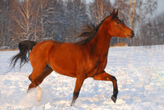 Proud red arabian horse on a snow-covered field. Proud red arabian horse on a russian's snow-covered field in sunset light Royalty Free Stock Photos