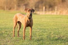 Proud Rhodesian Ridgeback dog is standing on a green meadow against blurred background royalty free stock image