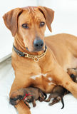 Proud Rhodesian Ridgeback mother with whelps Stock Photography
