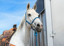 Proud rodeo horse. Horse is ready for a rodeo event Stock Images