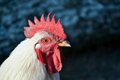 Proud rooster Stock Photo