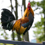 Proud Rooster Stock Photography