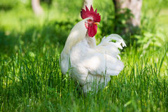 Proud rooster Stock Image
