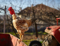 Proud rooster standing Stock Images