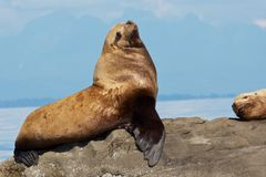 Proud Sea Lion. Canadian Sae Lion sitting on a rock close to Vancouver Stock Image