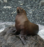 Proud sea-lion Royalty Free Stock Photography