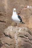 Proud seagull. Standing on rocks royalty free stock image