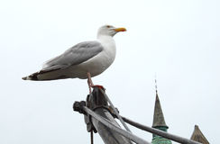 Free Proud Seagull Stock Photography - 1397472