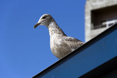Proud seagull. A proud looking seagull on top of a roof on a nice sunny day with blue sky Stock Photo