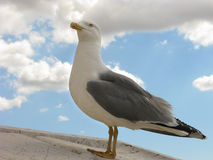 A Proud seagull Stock Images