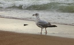 Proud seagull comes out of the North Sea in Ostend stock photos