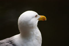 Proud Seagull frivolous Stock Photos