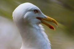 Proud Seagull frivolous Stock Photo