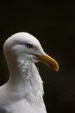 Proud Seagull frivolous Royalty Free Stock Image