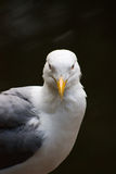 Proud Seagull frivolous Royalty Free Stock Photos