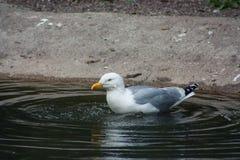 Proud Seagull frivolous Royalty Free Stock Photography