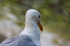 Proud Seagull frivolous Royalty Free Stock Images