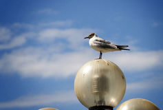 Proud Seagull Stock Photography