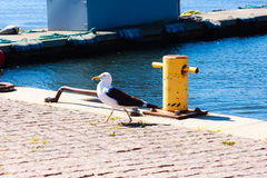 Proud seagull in port Royalty Free Stock Image