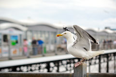 Proud seagull Stock Images