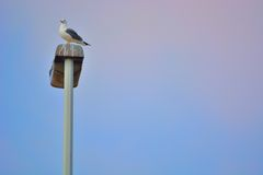 Proud seagull sitting on lantarnpole Stock Photography