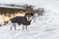 In winter Jack Russell Terrier with coat is standing and looking forward at sunset stock photo