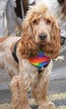 Proud Spaniel. Cocker Spaniel with rainbow bandana at gay pride royalty free stock photo