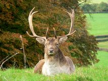 Proud Stag. Stag relaxing in the Autumn royalty free stock images