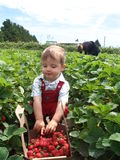 Proud strawberry picker. Small boy picking strawberries in june Royalty Free Stock Image