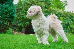 Proud and strong standing maltese shih tzu mixed dog. In the nature royalty free stock images