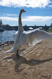 Proud swan and River Vltava with Charles Bridge in Prague Stock Photography