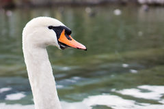 The Proud Swan Royalty Free Stock Photos