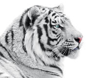 Proud tiger Royalty Free Stock Photos