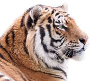 Proud tiger Royalty Free Stock Images